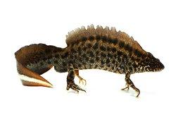Een mannetjes balkankamsalamander lead