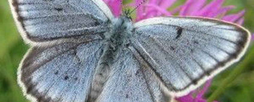 pimpernelblauwtje vierkant