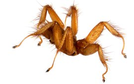 De vleermuisvlieg (Trichobius yunkeri)