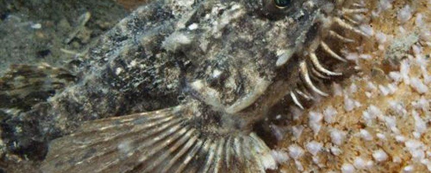 Opmerkelijk veel waarnemingen van Harnasmannetjes in de eerste helft van 2013.
