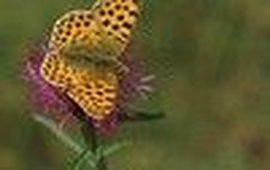 kleine parelmoervlinder - Kars Veling