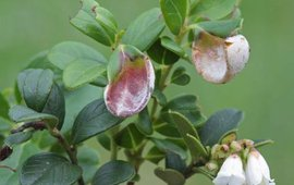 Exobasidium vaccinii Vossebesbladgast M.W.Boomsluiter