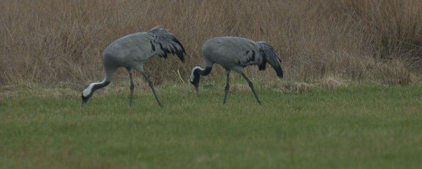 Kraanvogels fouragerend aan rand Fochteloerveen, WetlandWacht Vogelbescherming Nederland