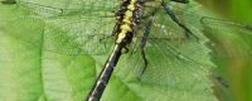 Beekrombout (foto: Albert Vliegenthart)