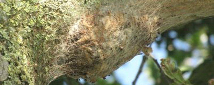 Nest eikenprocessierups 26 september 2009