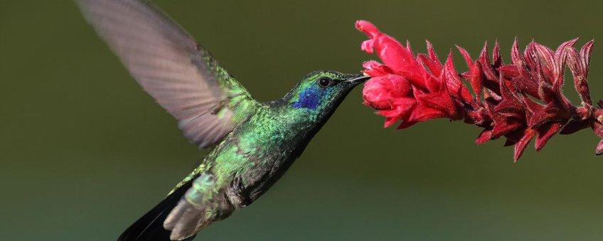 Colibri-thalassinus. Groene violetoorkolibrie