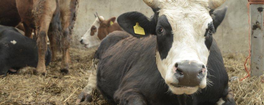Koeien in stal