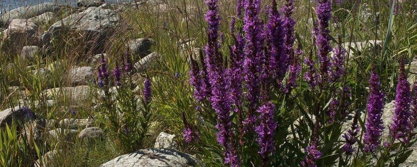 Lythrum salicaria. Grote kattenstaart