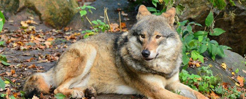 Eurasian wolf in Skansen Zoo