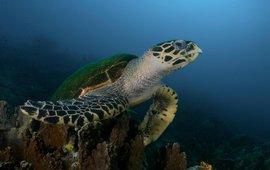 Zeeschildpad Maleisië