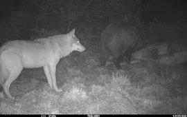 Wild zwijn eet van een doodgereden edelhert. Ondertussen houdt een een wolf afstand en wacht netjes op de beurt. EENMALIG GEBRUIK