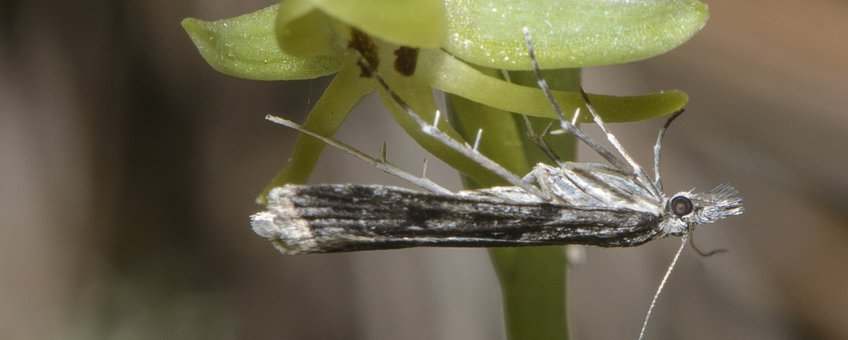 Eudonia lineola bestuift een Habenaria tridactylites
