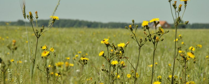 Brede bloemrijke akkerrand in Zeeland