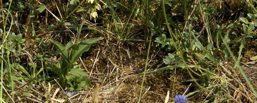 Duinwespenorchis - Epipactis helleborine subsp. neerlandica