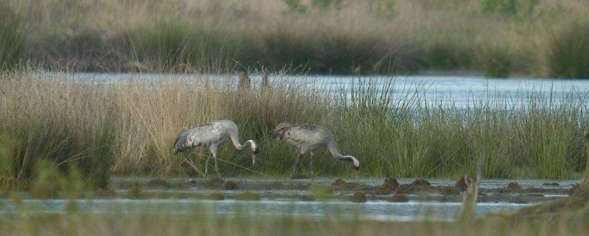 Twee kraanvogels Fochteloërveen