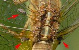 Vijf exemplaren van de libellenbijtmug zittend op de vleugeladers van een vuurlibel.