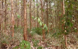 A teak plantation in the Kumawu Forest District of the Forest Services Division of the Forestry Commission of Ghana. The plantation lacks forest structure and composition, and hence, the capacity to provide the full bundle of ecosystem services or non-timber forest products for forest fringe communities. The lack of understory does not provide the necessary protection and habitat for wildlife animals (quadrupeds in particular).
