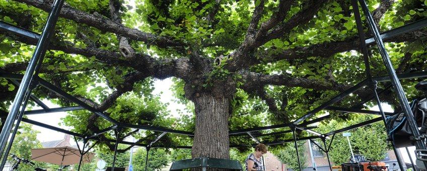 Moeierboom Etten-Leur boom van het jaar 2020