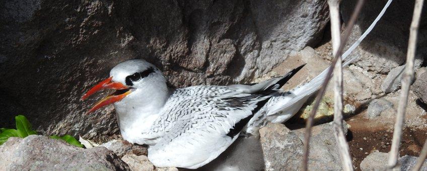 Volwassen roodsnavelkeerkringvogel op het nest