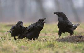 Raven op een kadaver EENMALIG GEBRUIK