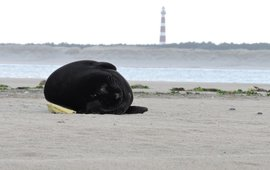Zwarte zeehond met op de achtergrond de vuurtoren van Ameland