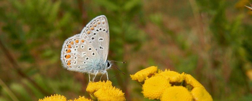icarusblauwtje vrouw - primair