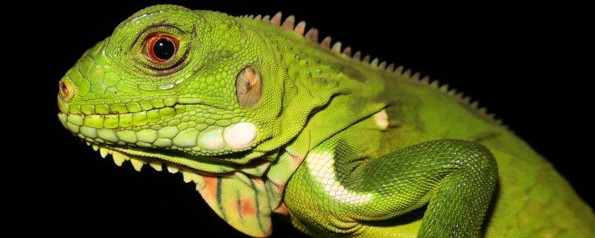 Hybride leguaan gevangen op Dominica