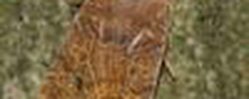 bosbesuil klein