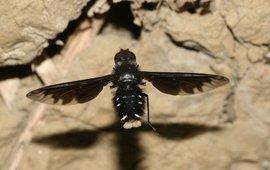 Muurrouwzever zwevend voor een muur op zoek naar nesten van metselbijen of –wespen