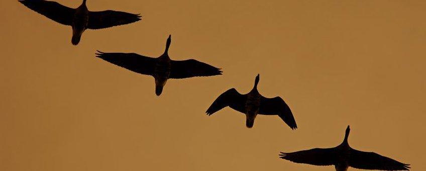 Ganzen in vlucht, bij bericht 16-10-2012
