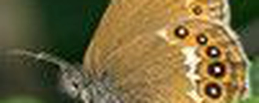 zilverstreephooibeestje klein