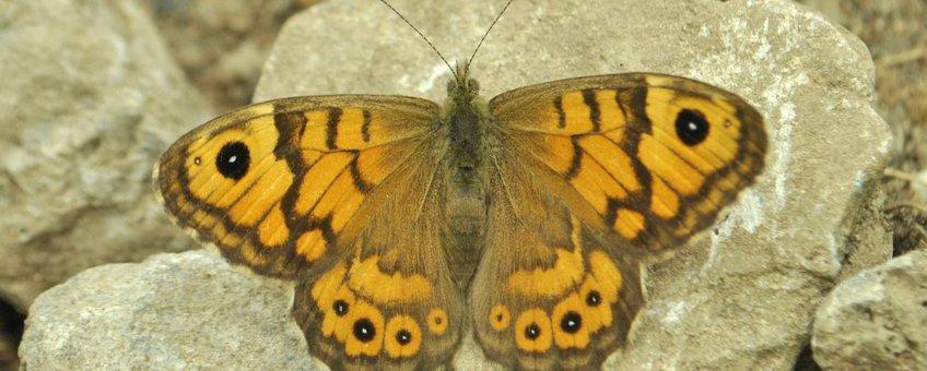Argusvlinder vrouwtje