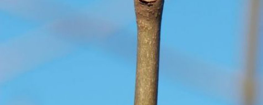 Es - knoppen FotO: Wout van der Slikke