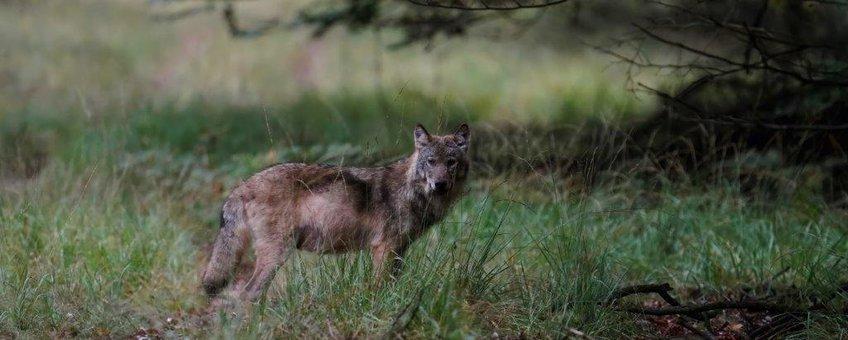 Wolf 9okt2020