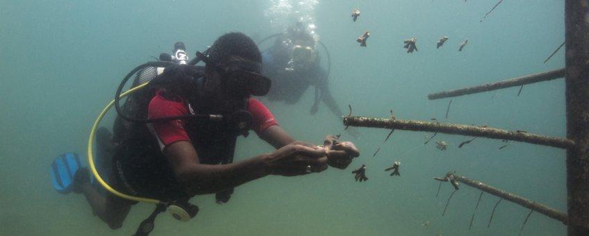 Duikers hangen stukjes koraal op dat uiteindelijk een groot kunstmatig rif moet vormen