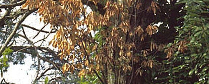 Cryphonectria parasitica