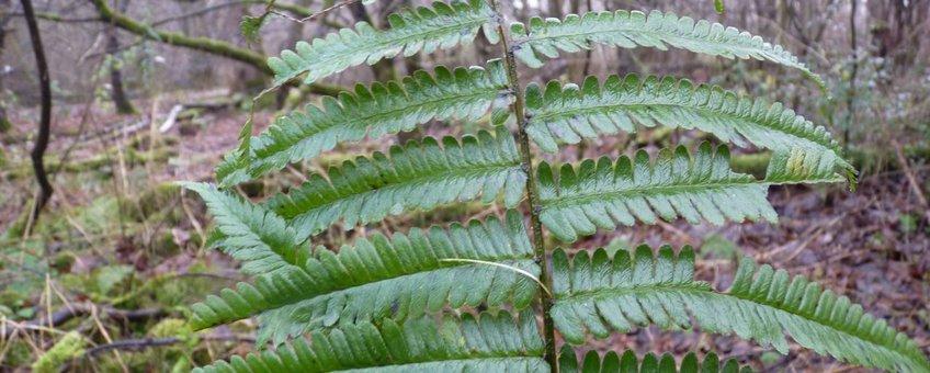 Dryopteris pseudodisjuncta in het Purmerbos