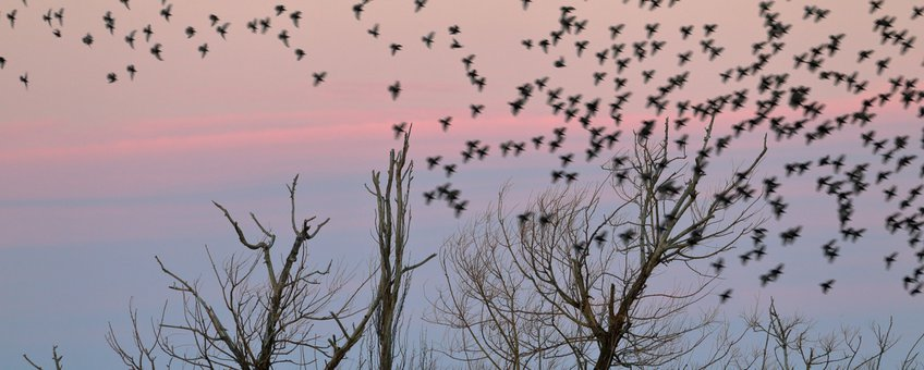 Starlings roosting for the night