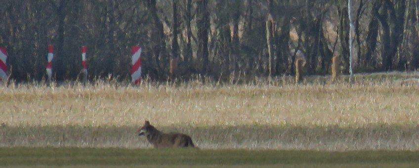 Wolf nabij Barger-Compascuum