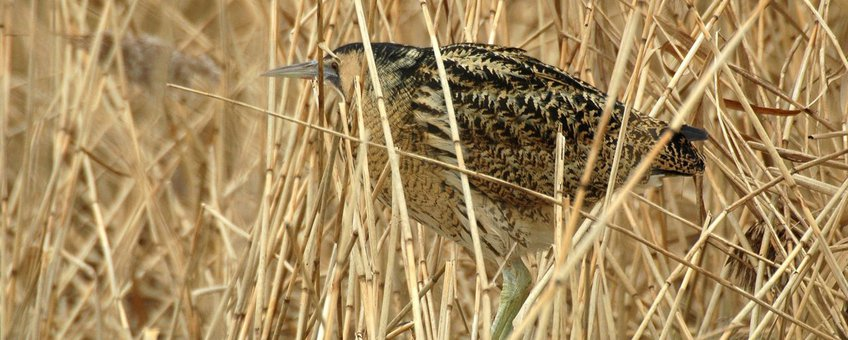 Roerdomp, Vogelbescherming Nederland