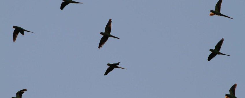 Pijlsnel vliegen de parkieten in de schemering naar hun slaapplaats