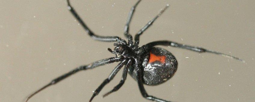 Een vrouwtje zwarte weduwe gevonden op 17 maart 2008 in een autogarage in Assen