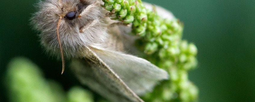 Vrouwtje eikenprocessievlinder op bloem
