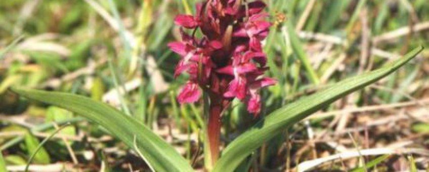 Vleeskleurige orchis Foto: Wout van der Slikke