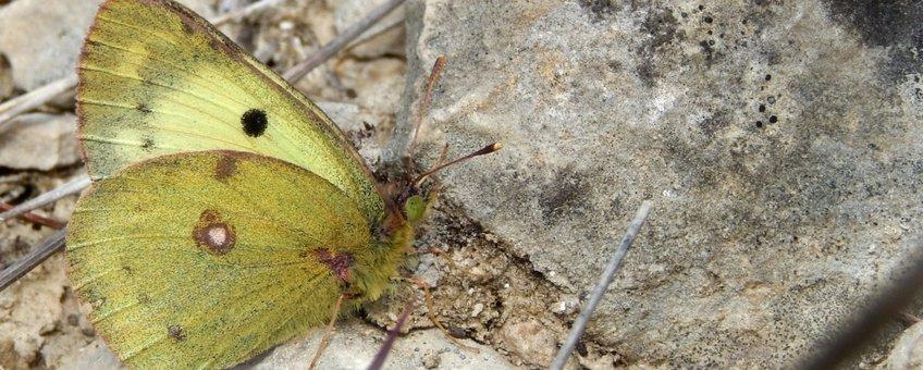 zuidelijke luzernevlinder - primair
