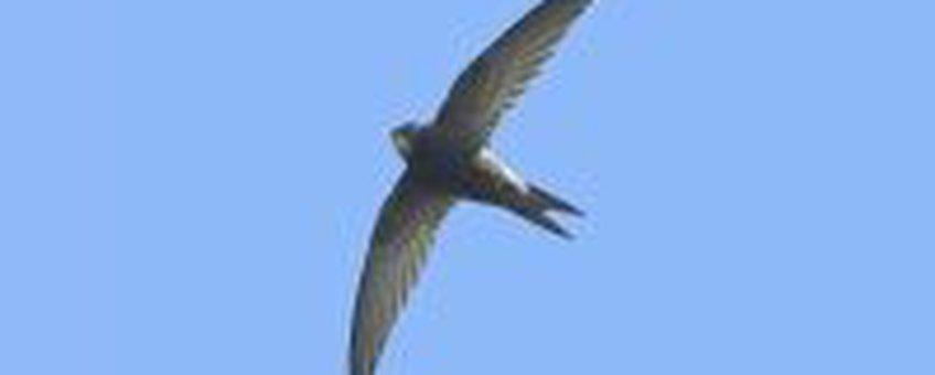 Gierzwaluw © Markus Varesvuo AGAMI 1275 x 971 px (322 kB) Foto kan alleen worden gebruikt na toestemming van de fotograaf