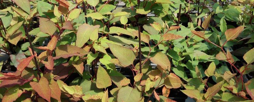 Fallopia × conollyana