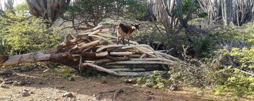 Invasive goats