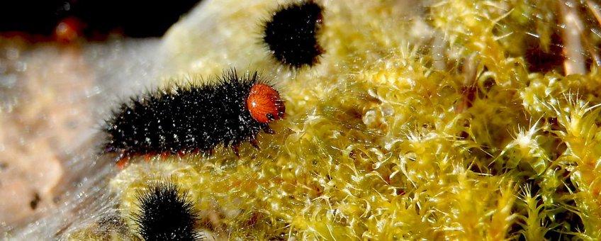 rups veldparelmoervlinder primair