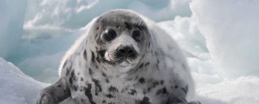Een zadelrobjong in de Saint Lawrencebaai tijdens de openingsdagen van de Canadese commerciële zeehondenjacht in 2009. Dat jaar zijn 280.000 zadelrobben gestorven.